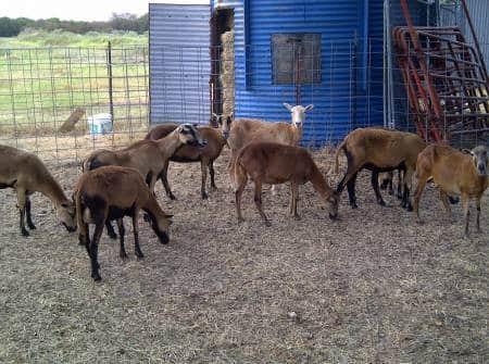 Barbados Sheep