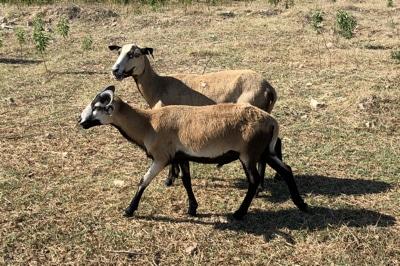 barbados sheep for sale - emola farm East Texas