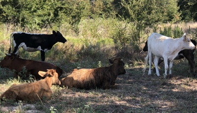 cattle for sale, East Texas